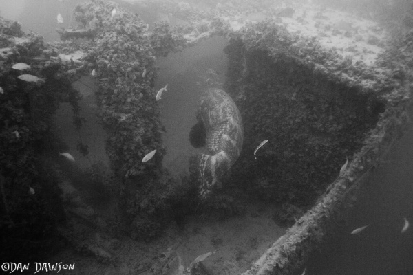 Goliath Grouper on the Queen of Nassau