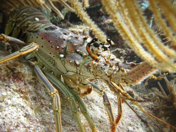 Lobster Season Information