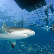 Stuart Cove Shark Diving-1